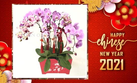 CNY Singapore 2021 Premium Orchid Plants