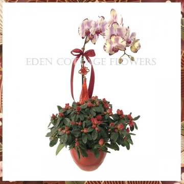 CNY Potted Phalaenopsis Orchid and Azalea CNP02