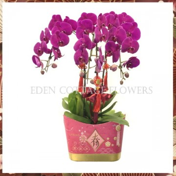 CNY Potted Phalaenopsis Orchids CNP03