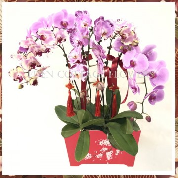 CNY Potted Phalaenopsis Orchids CNP05