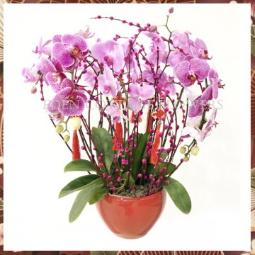 CNY Potted Phalaenopsis Orchids CNP06