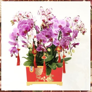 CNY Potted Phalaenopsis Orchids CNP09