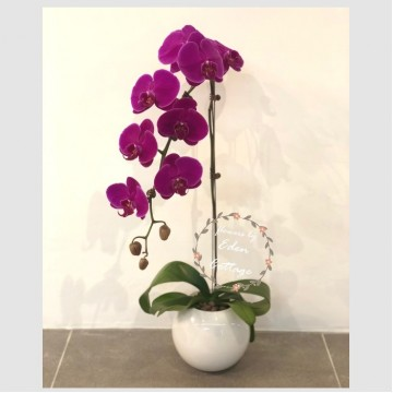 Phalaenopsis Orchids PFA2