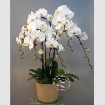 Phalaenopsis Orchids PFA13