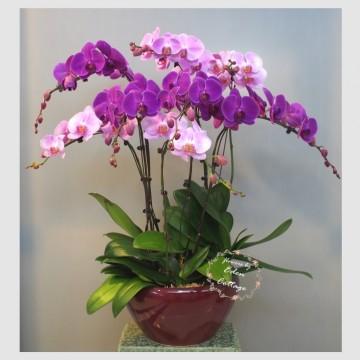 Phalaenopsis Orchids PFA14