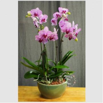Phalaenopsis Orchids PFA3
