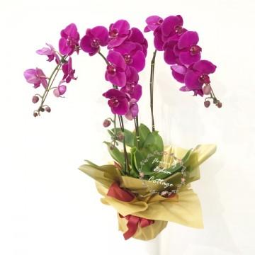 Phalaenopsis Orchids PFA15