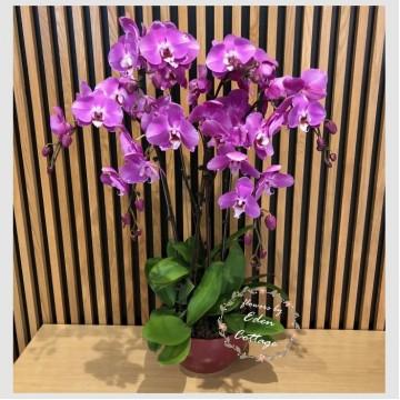 Phalaenopsis Orchids PFA12