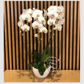 Phalaenopsis Orchids PFA8