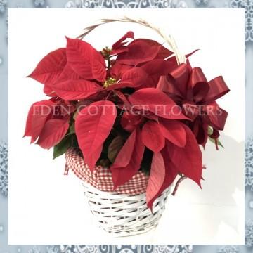 Christmas Red Poinsettias XMF1