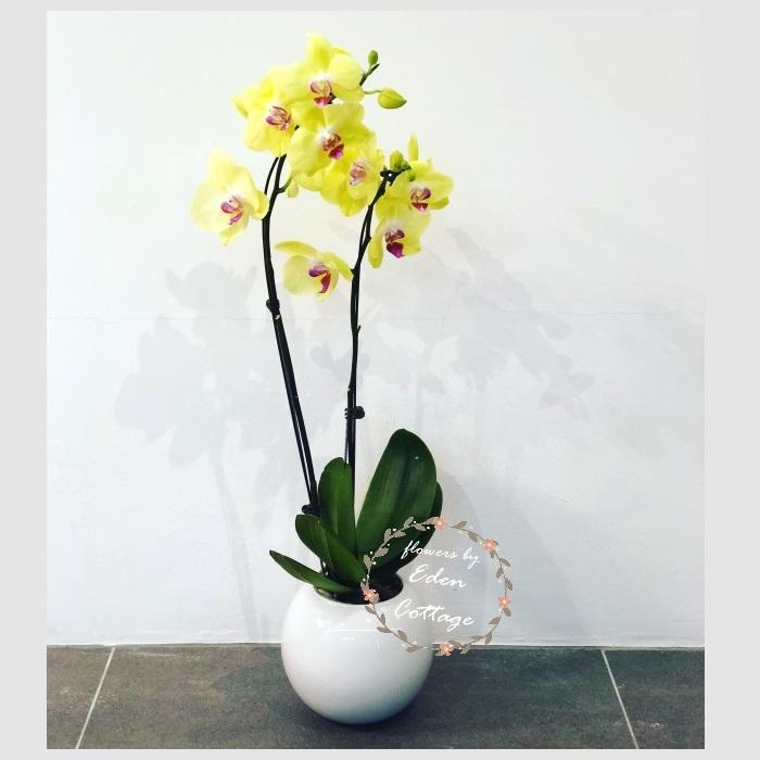Phalaenopsis Orchids PFA1
