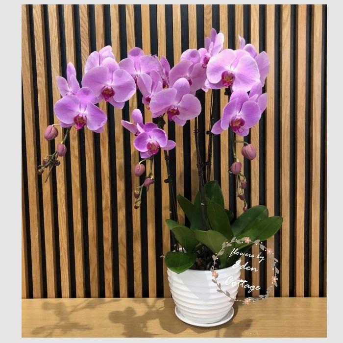 Phalaenopsis Orchids PFA6