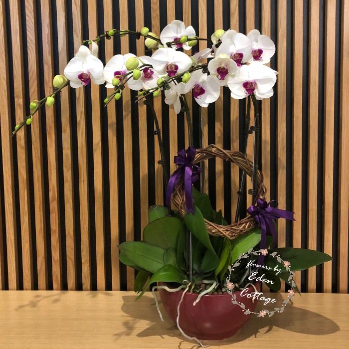 Phalaenopsis Orchids PFA10