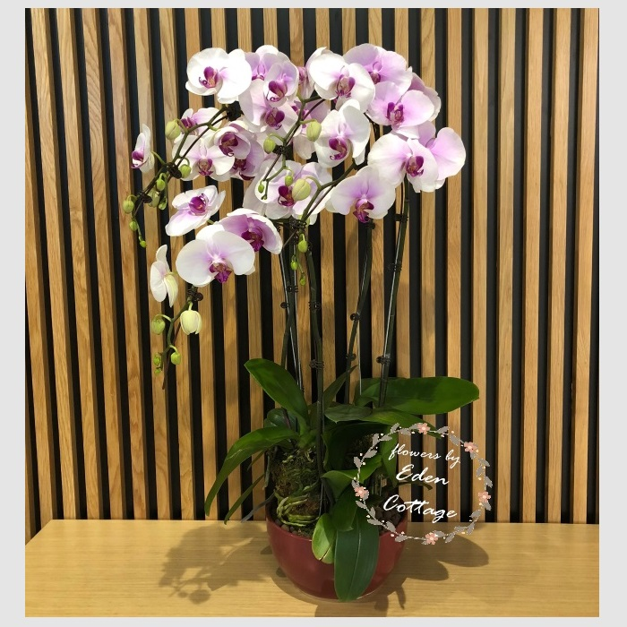 Phalaenopsis Orchids PFA11