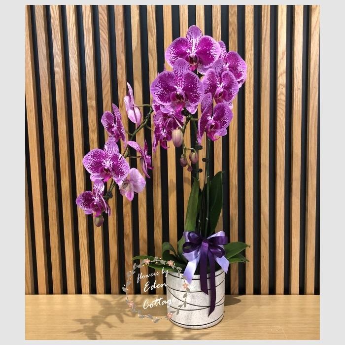 Phalaenopsis Orchids PFA16