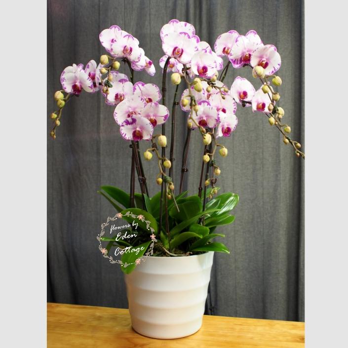 Phalaenopsis Orchids PFA18