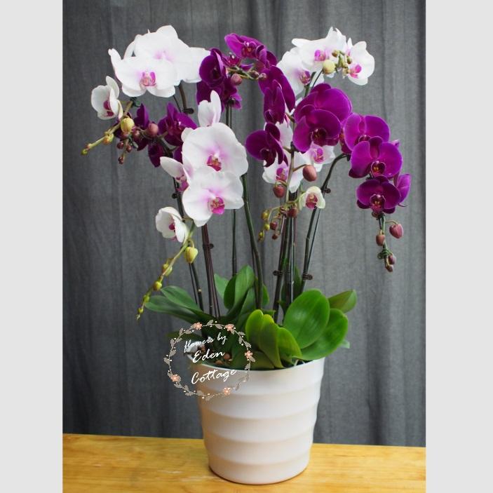 Phalaenopsis Orchids PFA19